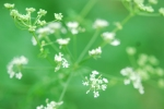 Poison Hemlock's cute flowers